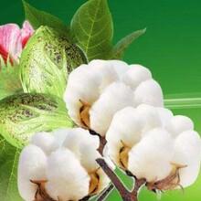 甘肃现货在生棉花性价比最高棉花 图片
