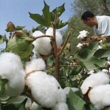 宁夏专业生产在生棉花低价促销棉花 图片