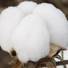 甘肃专业制造在生棉花性价比最高棉花 图片