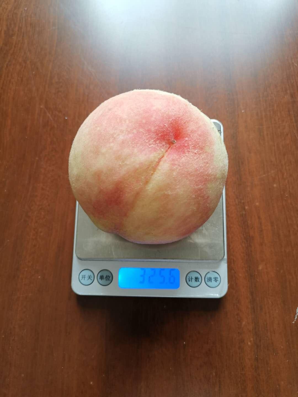 湖南黃桃苗_桃樹苗產地銷售_桃樹苗品種