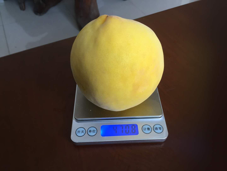 重慶永川黃桃苗,黃桃苗廠家批發,桃樹苗種植要求