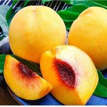 四川乐山黄桃果苗,黄桃果苗基地,成熟早的桃树苗图片