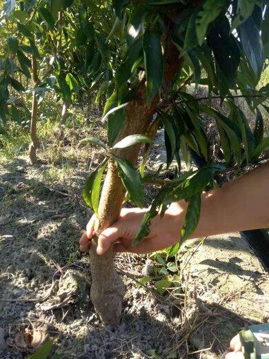 四川達州青脆李苗,青脆李苗廠家,量產早的李子樹苗