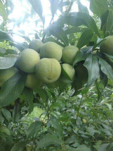 四川達州晚熟青脆李苗,晚熟青脆李苗出售,量產早的李子樹苗