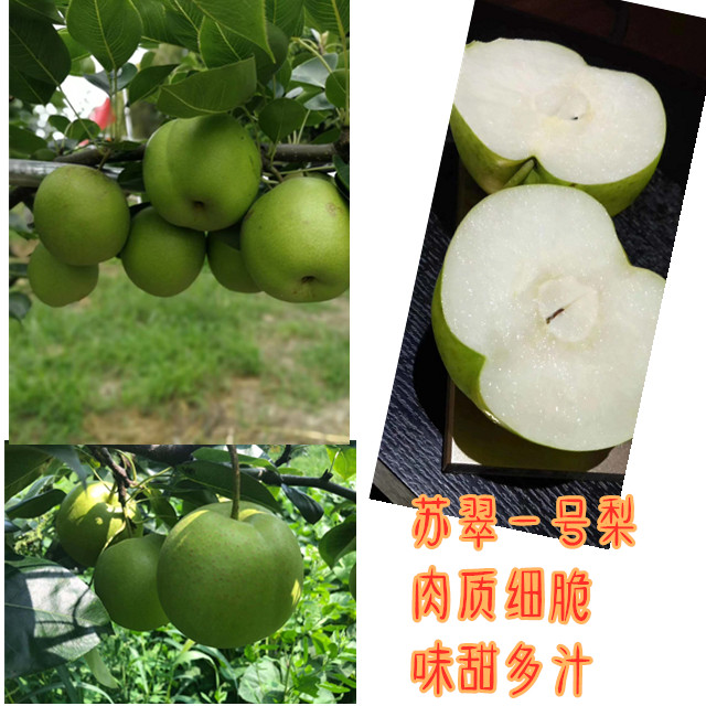 四川資陽梨子果苗,梨子果苗價格,脆甜品種梨子苗