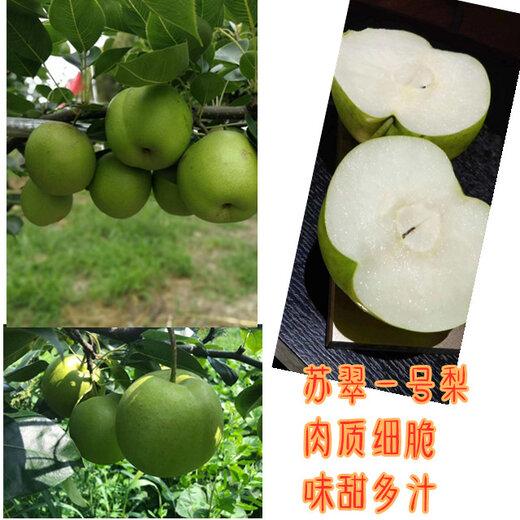 四川甘孜梨子種苗,梨子種苗批發,梨子樹苗管理要求