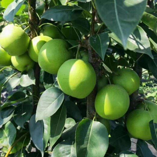 四川自貢梨子種苗,梨子種苗基地,肉質細膩的梨子苗