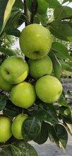 四川綿陽梨子種苗,適應四土壤梨樹苗,梨子苗豐產措施圖片