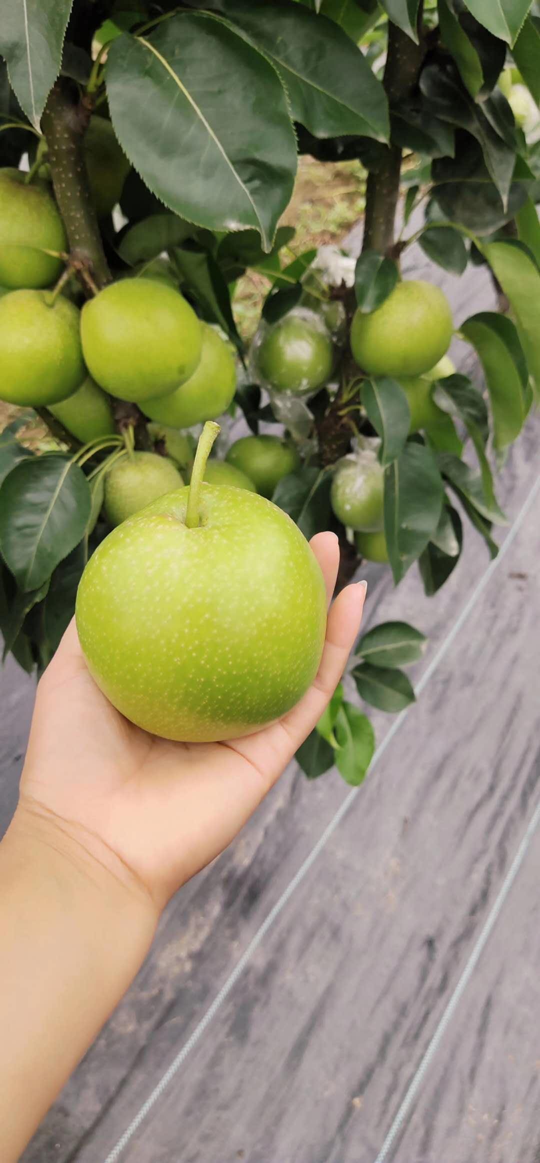 四川雅安梨子果苗,梨子果苗價格,梨子樹苗現場起苗