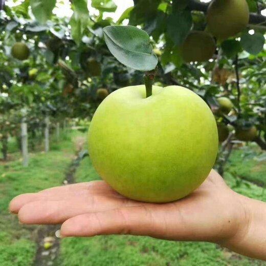 四川甘孜梨子種苗,四川丘陵梨子苗,成熟早的梨子苗