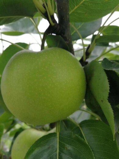四川甘孜梨子種苗,梨子種苗廠家批發,量產早的梨子樹苗