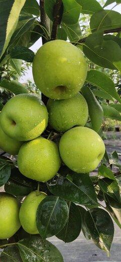 四川雅安梨子苗,梨子苗基地,梨子苗種植要求