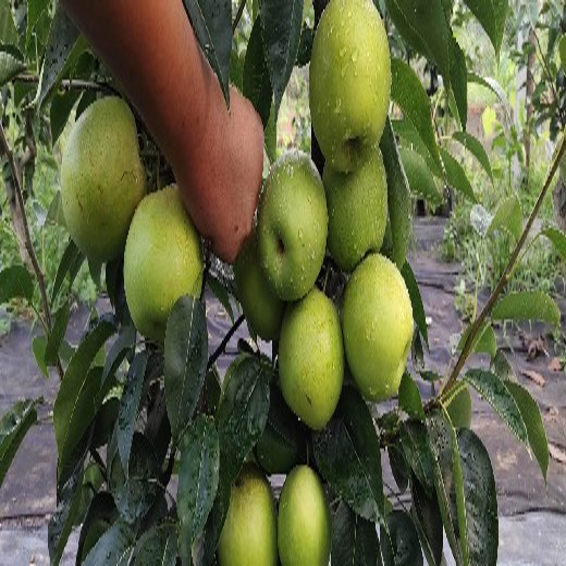 四川瀘州梨樹苗,梨樹苗批發,脆甜品種梨子苗