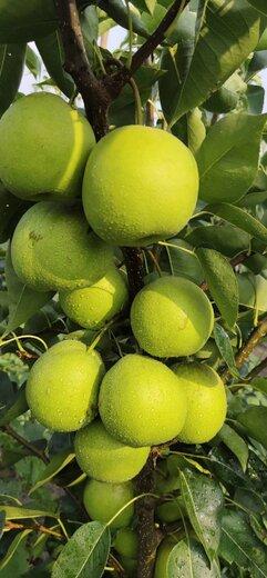 四川樂山梨子種苗,梨子種苗價格,梨子樹苗高產管理