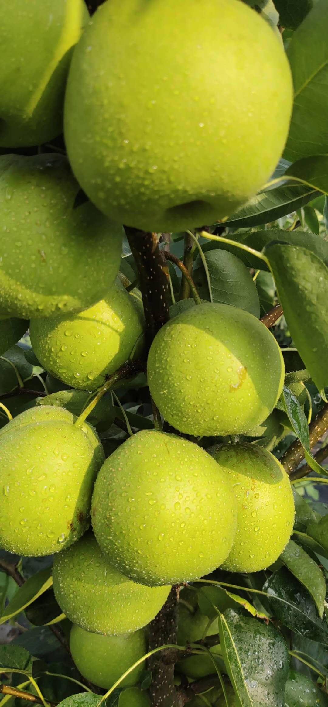 四川廣安梨子苗,梨子苗出售,脆甜品種梨子苗