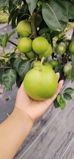 四川德陽梨子種苗,梨子種苗廠家批發,梨子苗種植技術