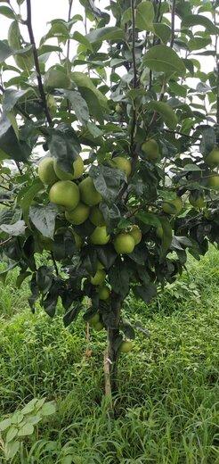 四川廣安梨子樹苗,梨子樹苗廠家批發,成熟早的梨子苗