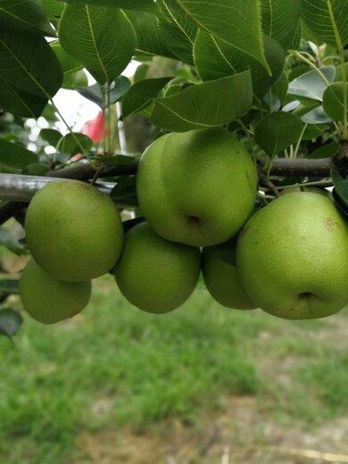 四川瀘州梨子苗,梨子苗出售,脆甜品種梨子苗