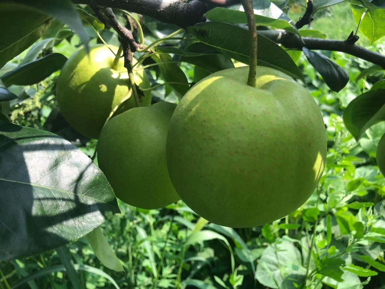 四川德陽梨子種苗,梨子種苗基地,肉質細膩的梨子苗