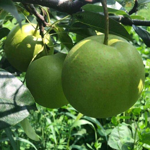 四川阿壩梨子苗,梨子苗批發,味甜多汁梨子苗