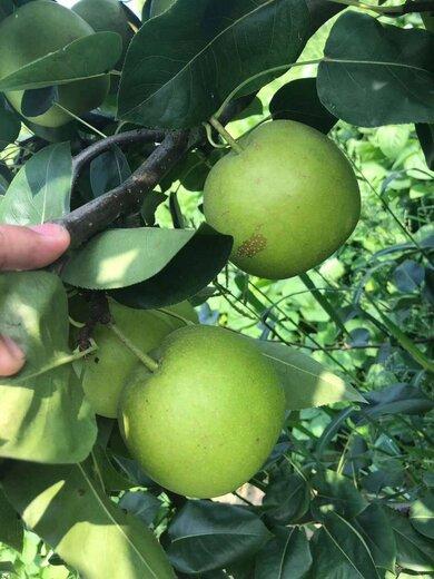 四川雅安梨樹苗,四川干旱土地梨樹苗,梨子苗豐產措施