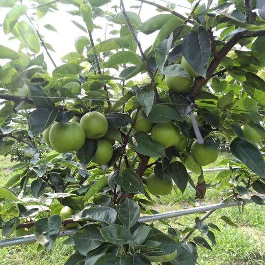 四川甘孜梨子種苗,梨子種苗價格,梨子樹苗高產管理