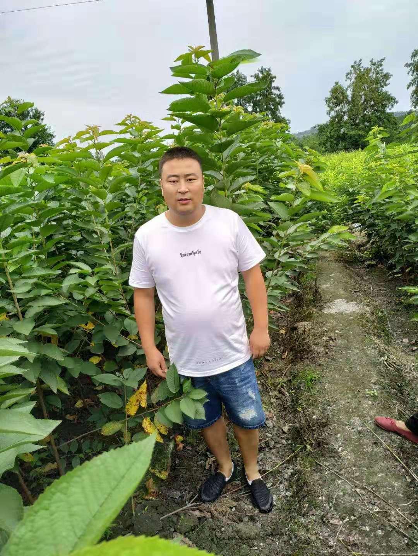 車厘子樹苗廠家直售,四川阿壩車厘子樹苗,量產早的車厘子樹苗