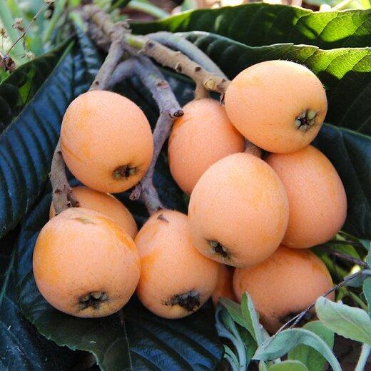 批發枇杷果苗,四川枇杷苗出售,枇杷樹苗高產管理