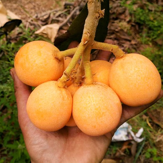 四川眉山枇杷種苗,枇杷苗四川廠家批發,掛果久的枇杷苗