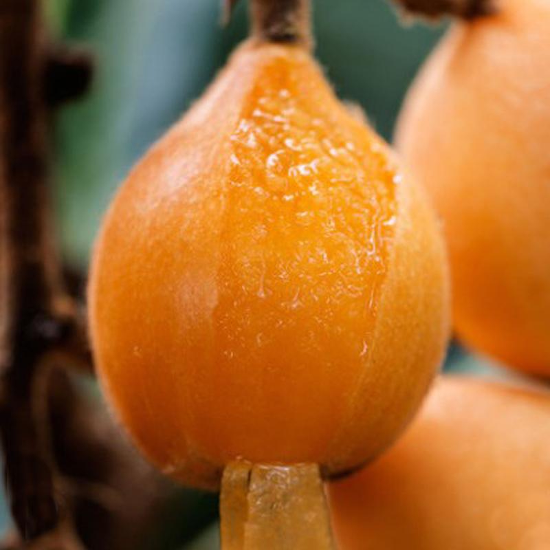 四川資陽枇杷果苗,枇杷苗四川廠家批發,脆甜品種枇杷苗