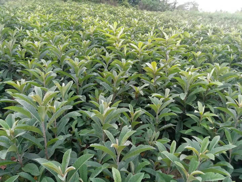 四川樂山枇杷苗,四川枇杷苗出售,掛果久的枇杷苗