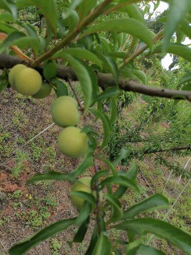 蜂糖李子苗,湖南長沙蜂糖李子苗,皮脆水多的李子品種