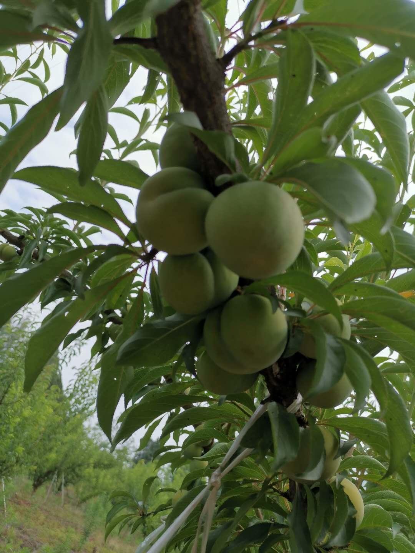 蜂糖李樹苗,江西永新蜂糖李樹苗批發,脆甜品種李子苗