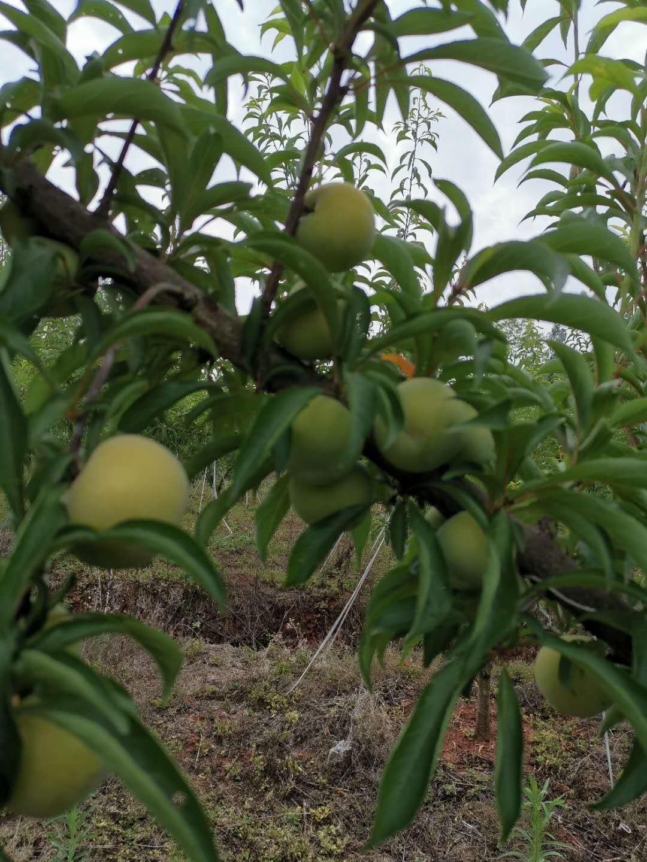 蜂糖李苗,江西贛州蜂糖李苗基地,地徑三公分李子樹苗