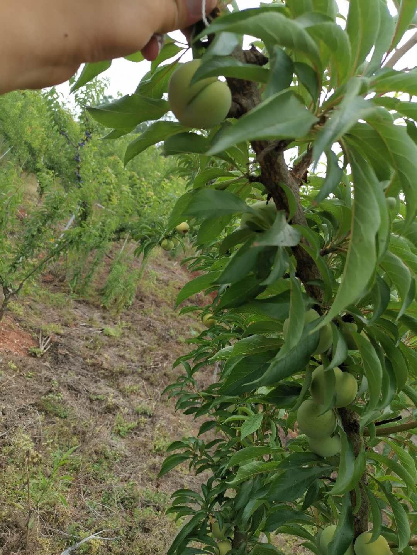 蜂糖李樹苗,湖南婁底蜂糖李樹苗廠家直售,量產早的李子樹苗
