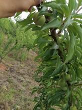 蜂糖李苗,浙江蜂糖李苗價格,成熟晚的李子苗圖片