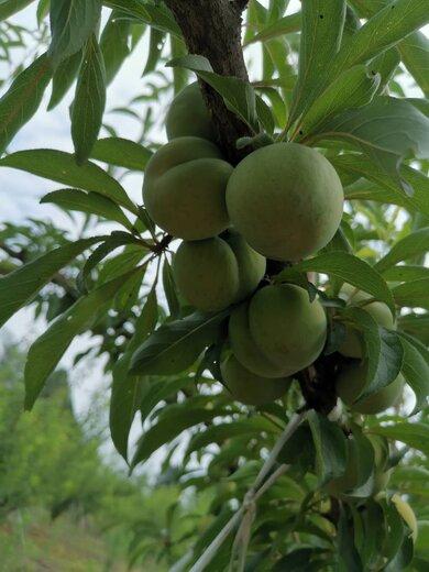 蜂糖李樹苗,江西九江蜂糖李樹苗出售,地徑三公分李子樹苗