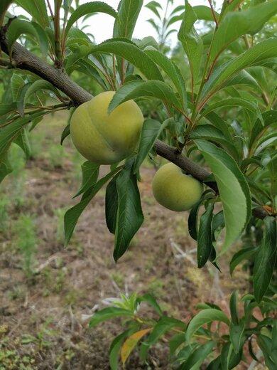 蜂糖李果苗,廣西百色蜂糖李果苗廠家直售,量產早的李子樹苗