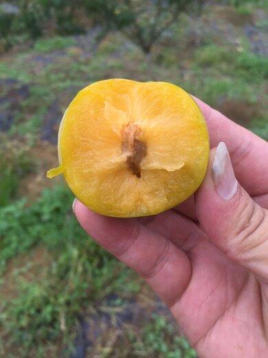 蜂糖李樹苗,江西新余蜂糖李樹苗價格,皮脆水多的李子品種