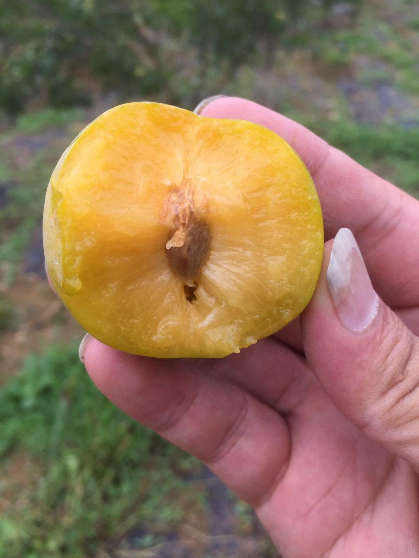 蜂糖李子苗,江西鷹潭蜂糖李子苗基地,皮脆水多的李子品種