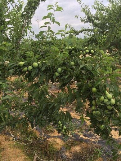 蜂糖李果苗,湖南常德蜂糖李果苗出售,李子樹苗根系發達