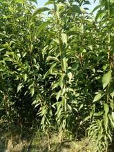 蜂糖李果苗,浙江蜂糖李果苗價格,自家李子苗出售圖片