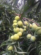 蜂糖李苗,湖南蜂糖李苗直銷,地徑三公分李子樹苗圖片