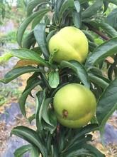 蜂糖李樹苗,重慶蜂糖李樹苗廠家直售,親親果園青脆李子苗圖片