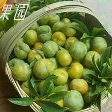蜂糖李樹苗,浙江蜂糖李樹苗出售,脆甜品種李子苗圖片