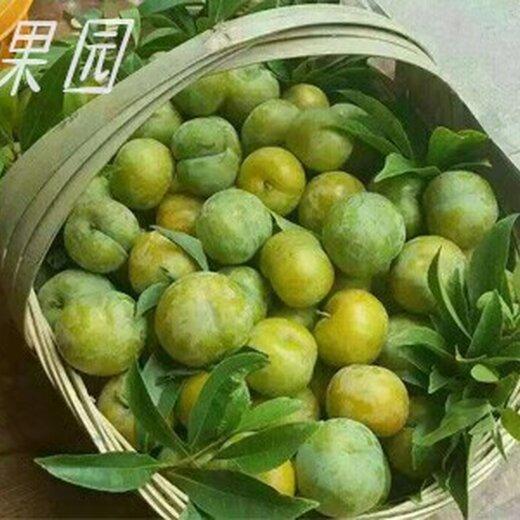 蜂糖李苗,浙江金華蜂糖李苗出售,成熟晚的李子苗