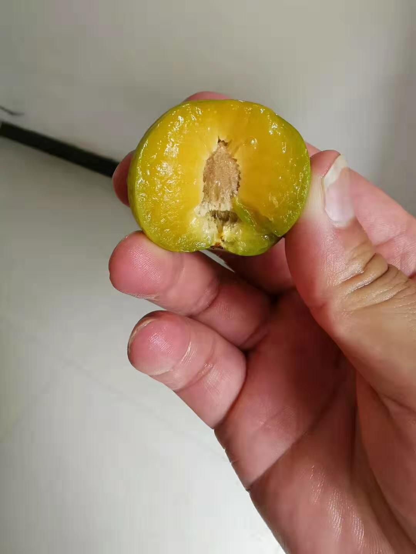 蜂糖李苗,江西新余蜂糖李苗價格,成熟晚的李子苗