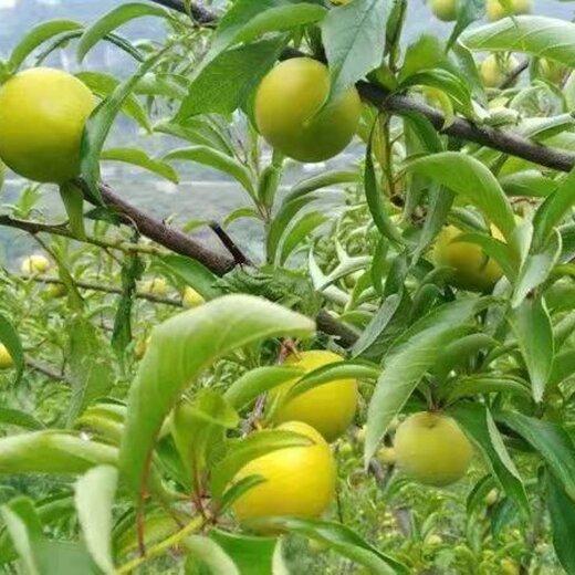 蜂糖李子苗,江西宜春蜂糖李子苗出售,量產早的李子樹苗