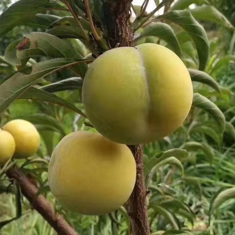 蜂糖李苗,貴州蜂糖李苗價格,廠家培育李子苗