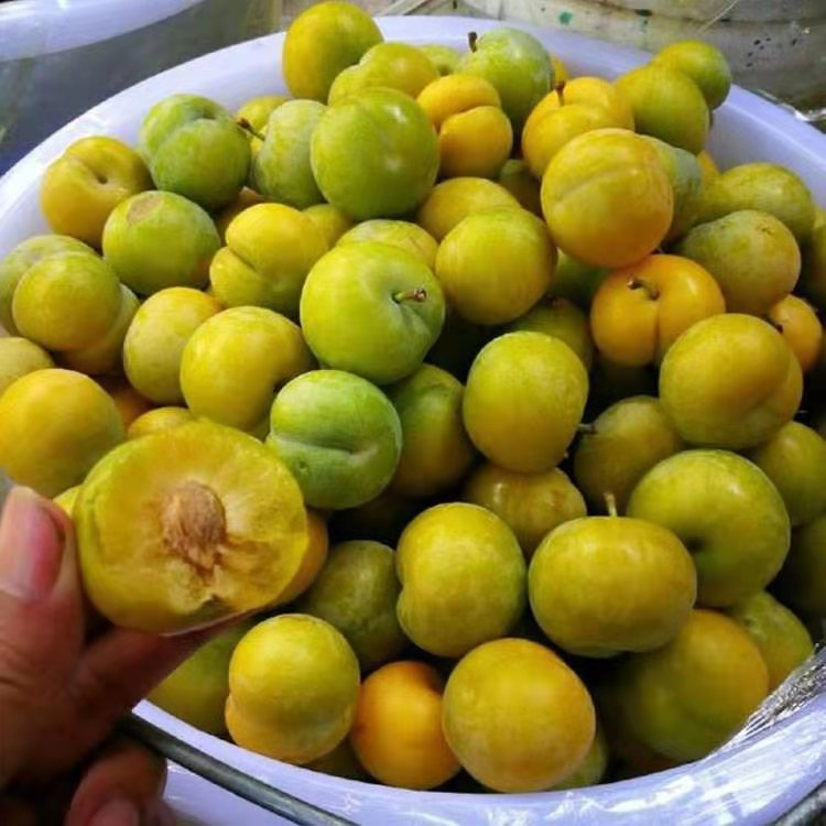 蜂糖李子苗,江西宜春蜂糖李子苗基地,李子苗種植要求